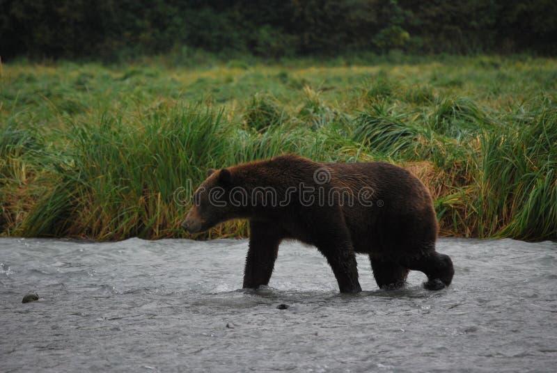 Kodiak niedźwiedź, Alaski Brown niedźwiedź/ fotografia stock