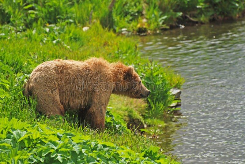 Kodiak niedźwiedź Gapi się przez staw zdjęcia royalty free