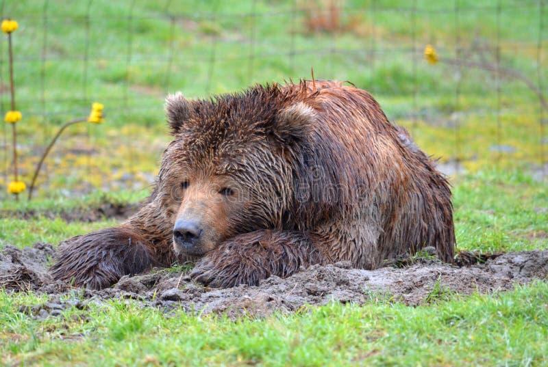 Kodiak niedźwiedź kłaść dalej w trawie obraz stock