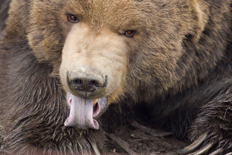 Kodiak niedźwiedź liże łapę