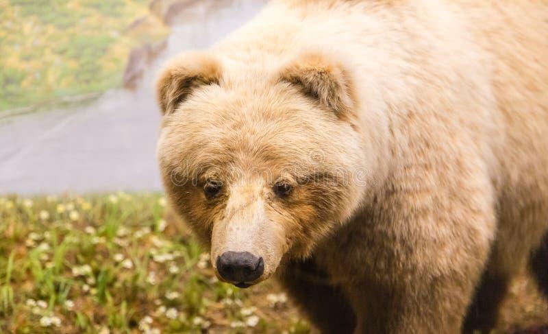 Kodiak niedźwiedzia zakończenie fotografia royalty free