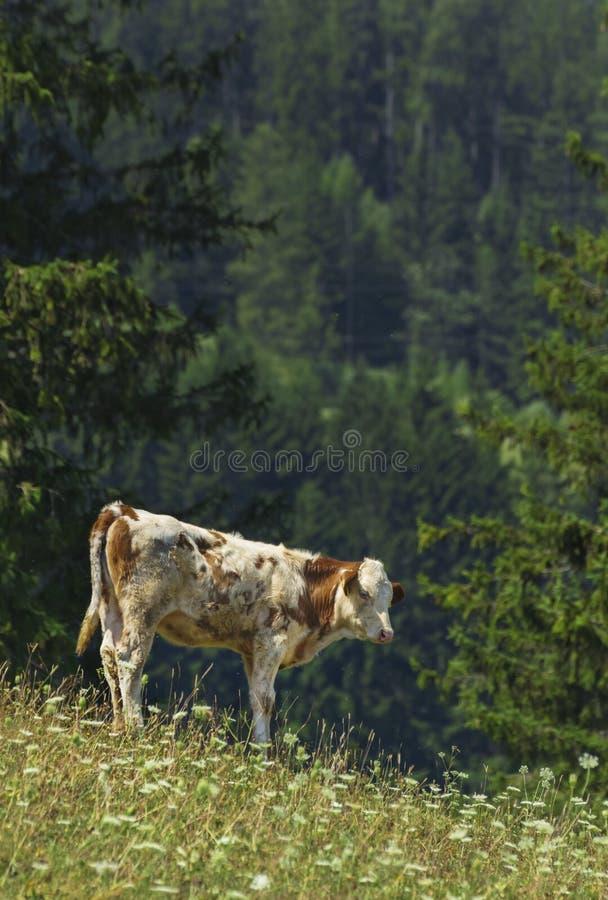 Koe in Alpen stock foto