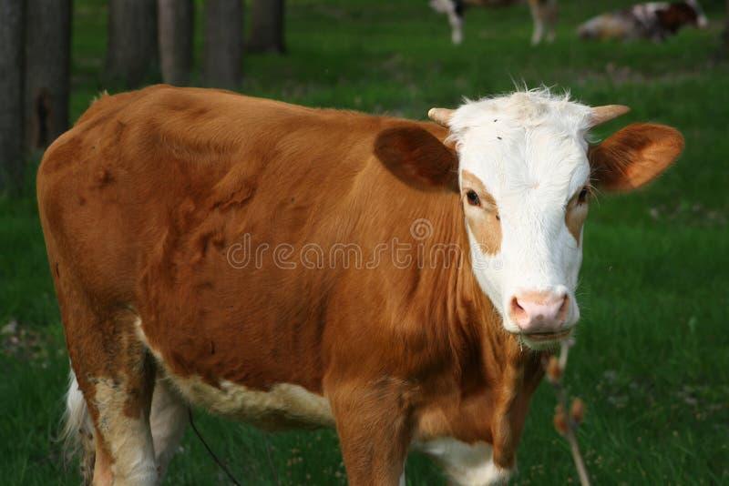 Koe in bos royalty-vrije stock afbeelding
