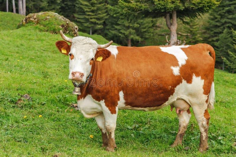 Koe in de alpen stock afbeelding