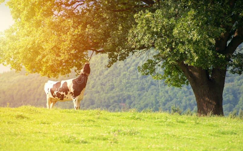 Koe die bladeren van een boom eten stock afbeeldingen