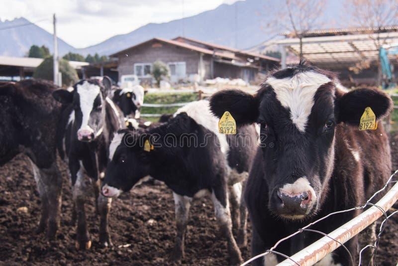 Koe die camera in het landbouwbedrijf van Japan, kyushu, Japan bekijken stock foto's
