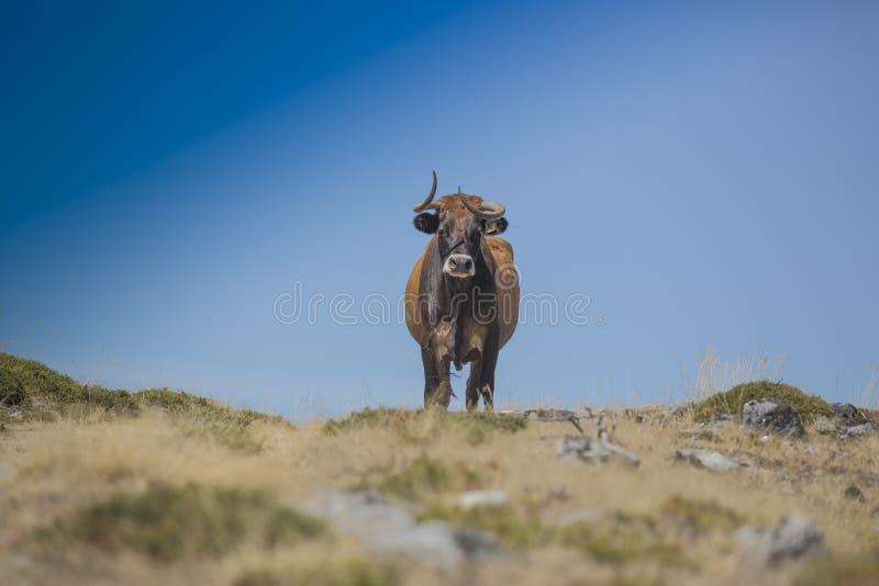 Koe die in de aard, in Portugal lopen stock afbeelding