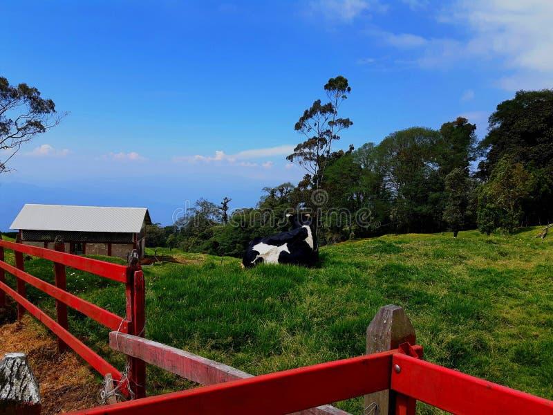 Koe die de horizon bekijken royalty-vrije stock afbeeldingen