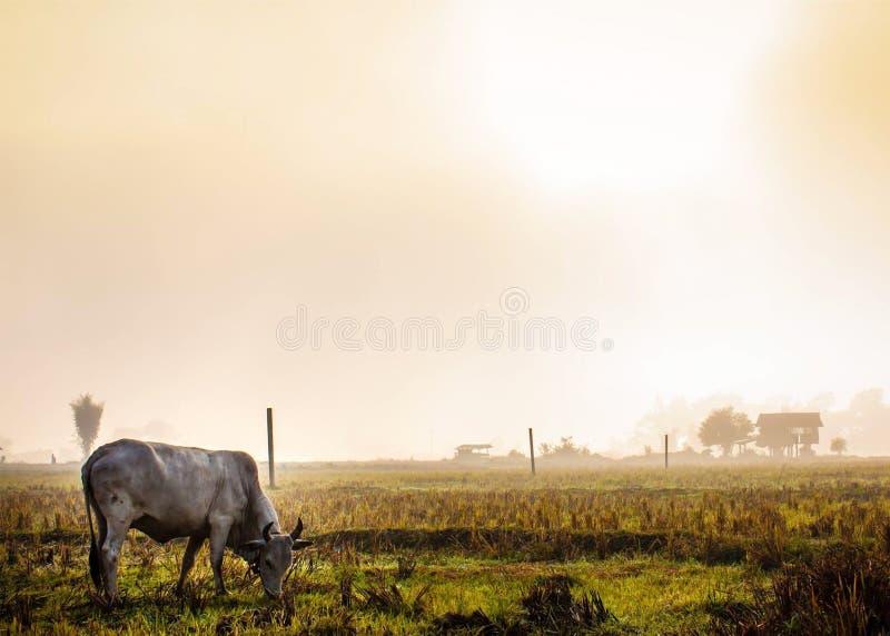 Koe die gras eet stock afbeelding