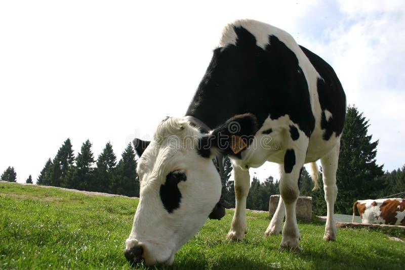 Koe die gras eet - weiland stock foto
