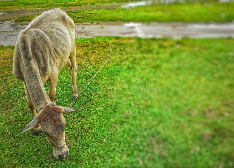 Koe die groen gras op het gebied eten royalty-vrije stock afbeelding