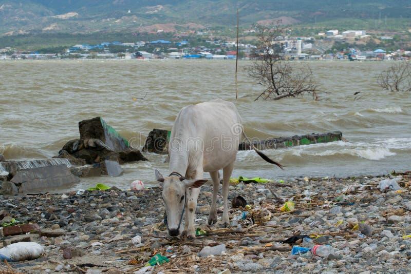 Koe die naar voedsel onder Afval van Tsunami Palu That Hit On 28 September zoeken stock afbeelding