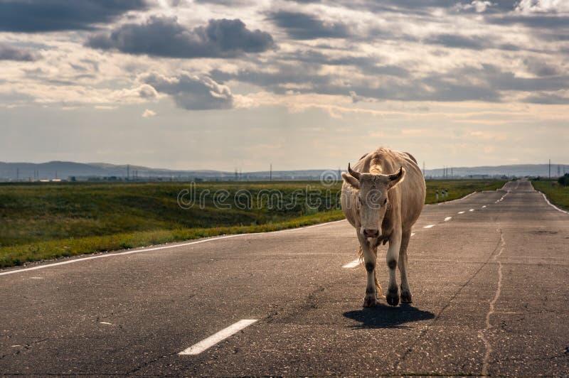 Koe die op de asfaltweg aan de horizon backlit door zonsondergangzon lopen in steppe royalty-vrije stock fotografie