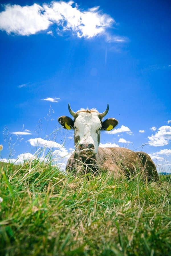 Koe die op heuvel rust royalty-vrije stock afbeeldingen