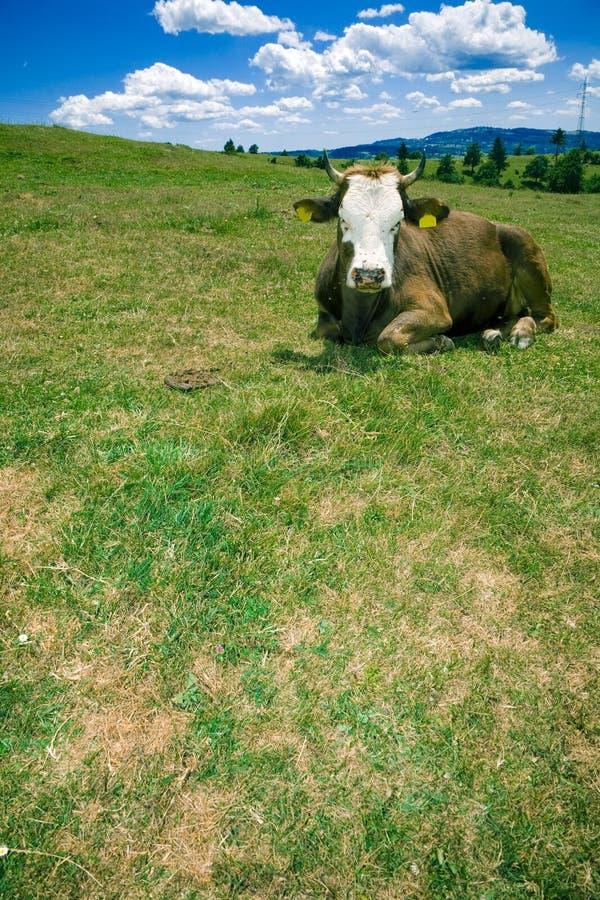 Koe die op heuvel rust stock foto's