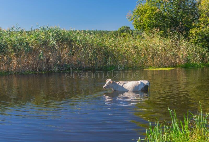 Koe die waterbehandeling in de zomer Oekraïense rivier Merla hebben stock fotografie
