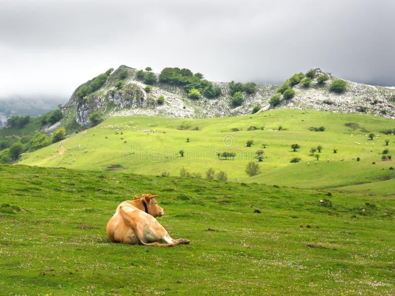 Koe die in weiden rusten royalty-vrije stock afbeelding