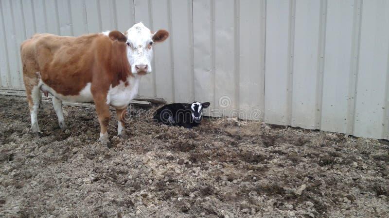 Koe en kalf royalty-vrije stock afbeeldingen