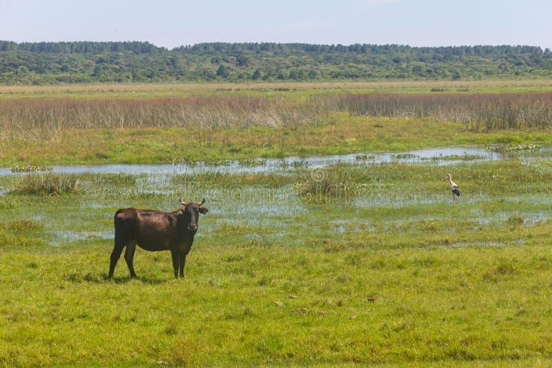 Koe en Maguari-Ooievaar in een moeras op een landbouwbedrijf in Lagoa do Peixe Nat stock foto