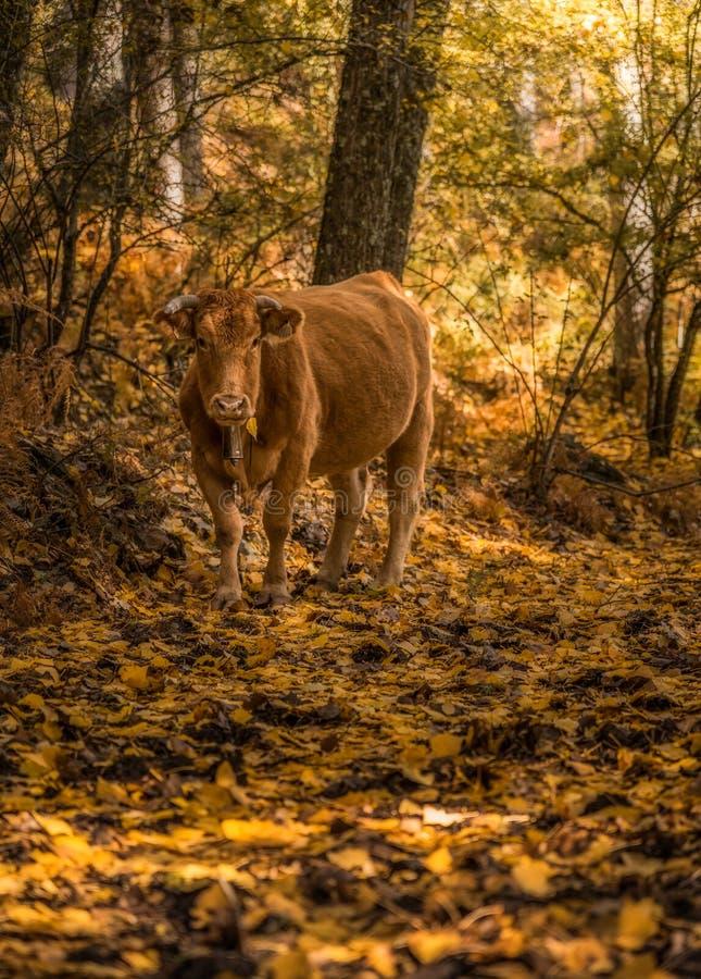 Koe in het bos stock fotografie