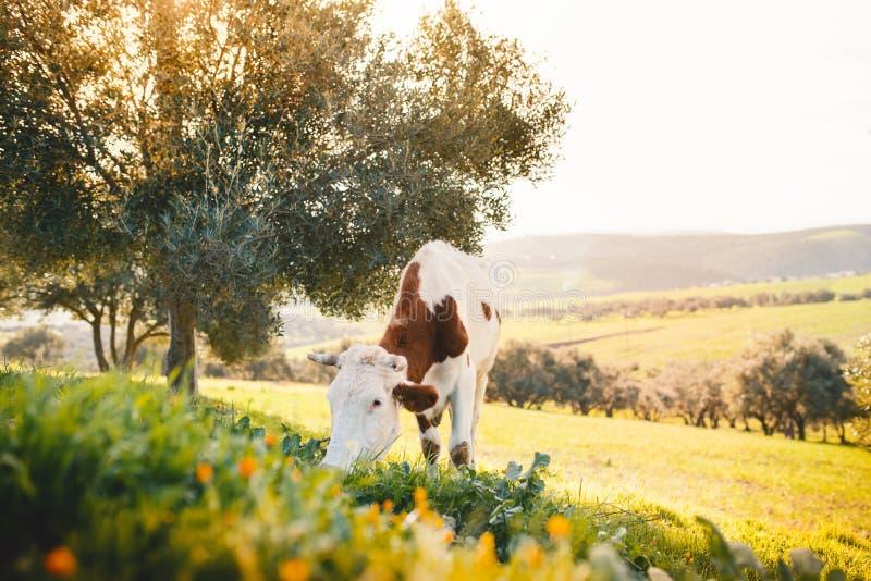 Koe het weiden op een vers gras Landschap met grasgebied, olijfbomen, dierlijke en mooie zonsondergang Marokkaanse aard royalty-vrije stock foto