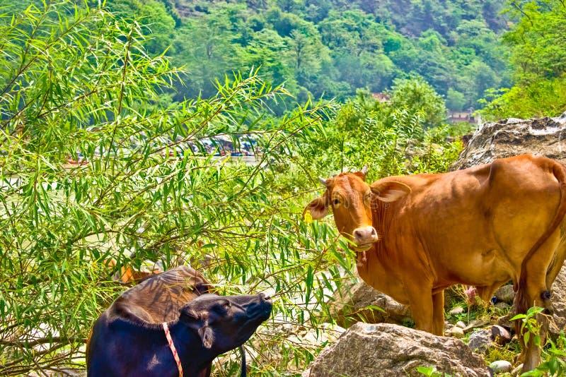 Koe het weiden op weiland Het weiden van het vee Indische koeien stock foto's