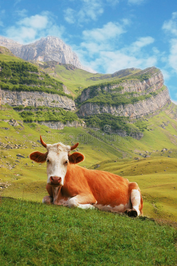 Koe in hooggebergte royalty-vrije stock foto
