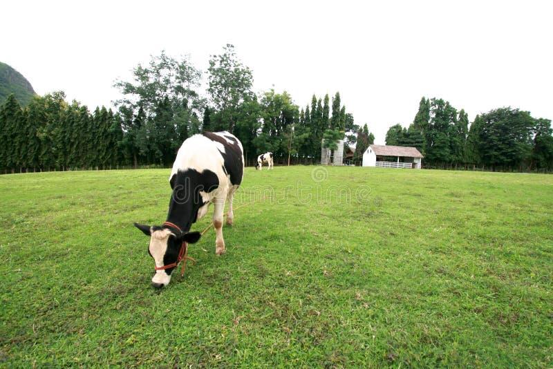 Koe in landbouwbedrijf royalty-vrije stock fotografie