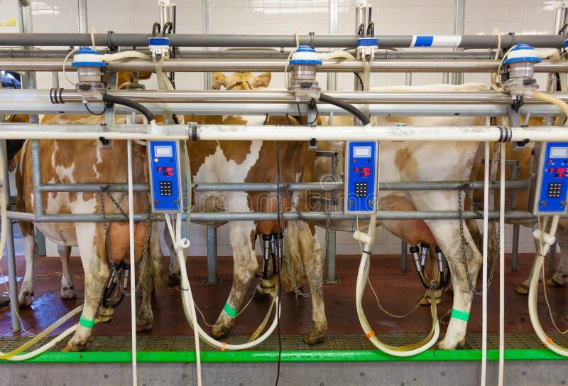 Koe melkende faciliteit in een landbouwbedrijf stock foto's