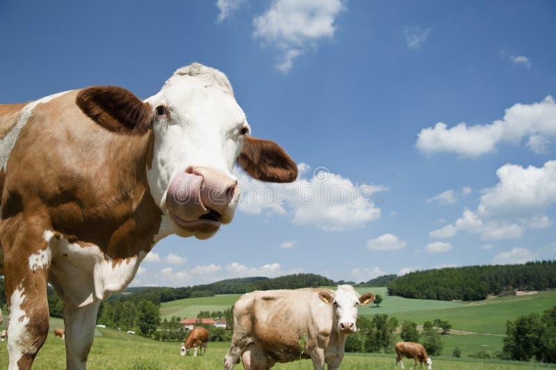 Koe met lange tong stock foto