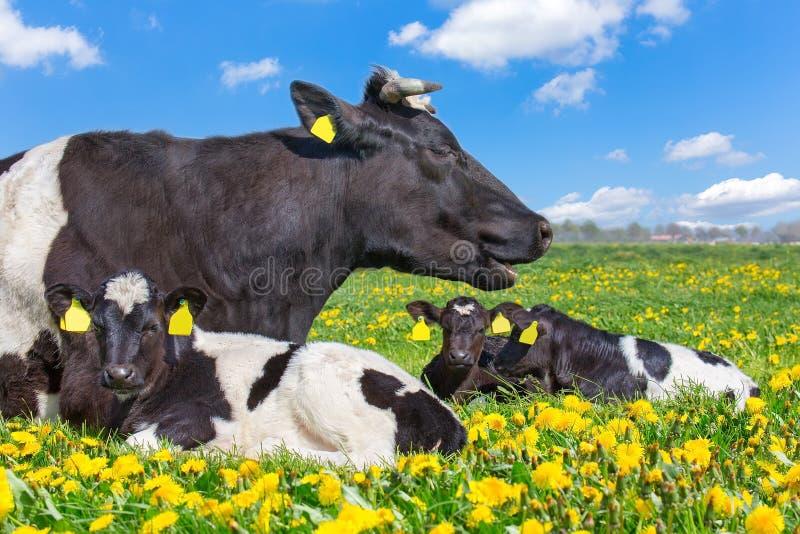 Koe met pasgeboren kalveren die in weide met paardebloemen liggen royalty-vrije stock afbeelding