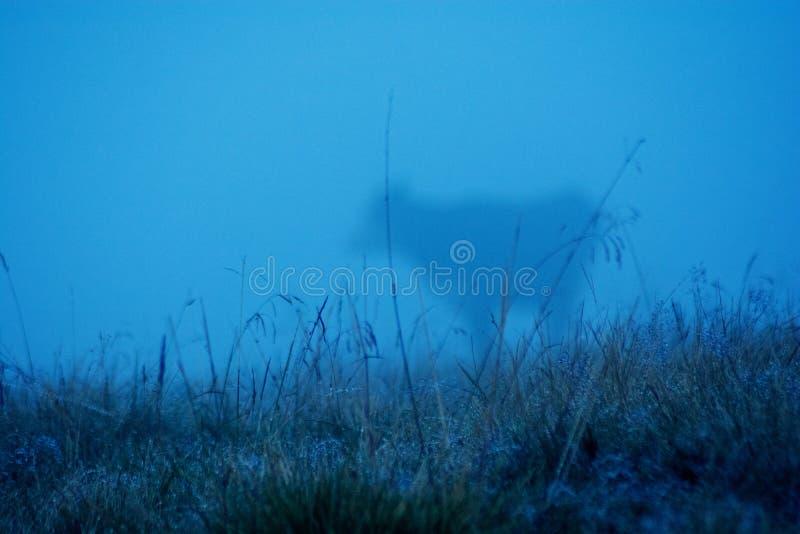 Koe in mist De koe weidt op een nevelig gebied Selectieve nadruk stock foto's
