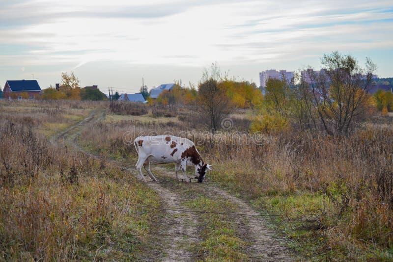 Koe op een landweg Autumn Landscape Rusland stock fotografie