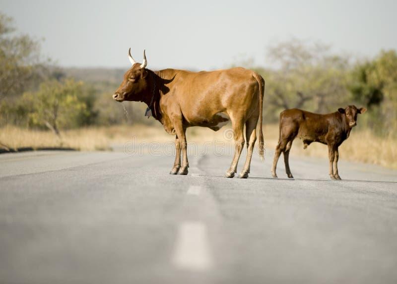 Koe op het midden van de weg stock afbeeldingen