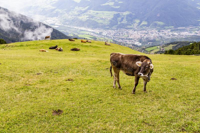 Koe op weide, Zuid-Tirol, Itali? stock fotografie