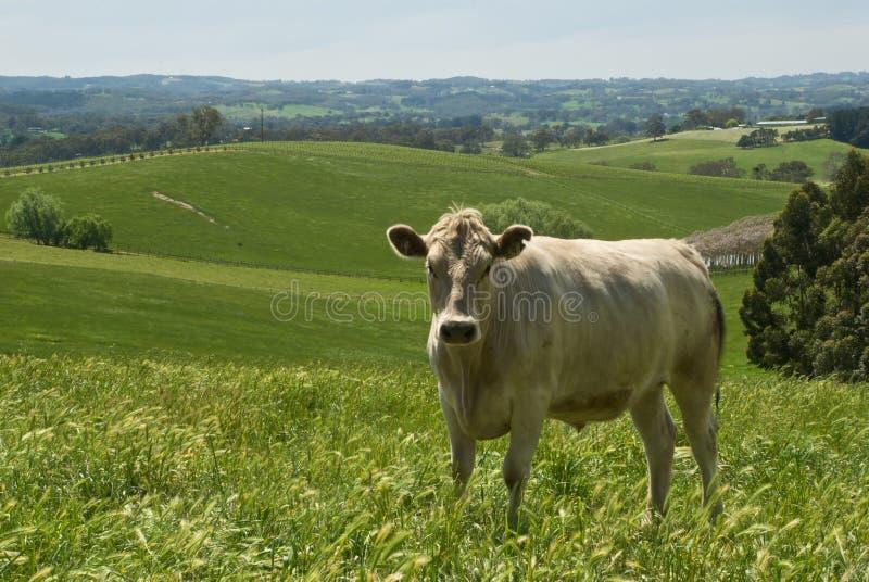 Koe in platteland stock afbeelding