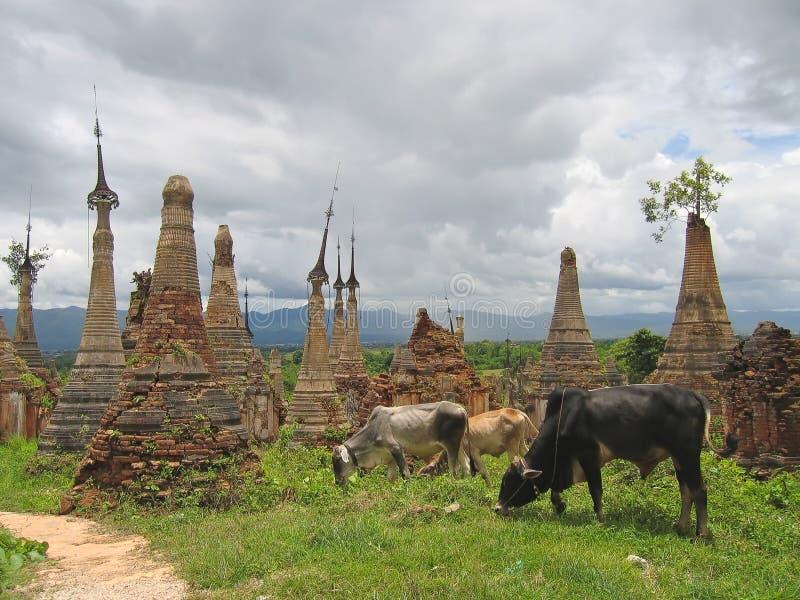 Koe rond stupas van Paya Kyaukhpyugyi, Inle meer, Myanmar royalty-vrije stock afbeeldingen