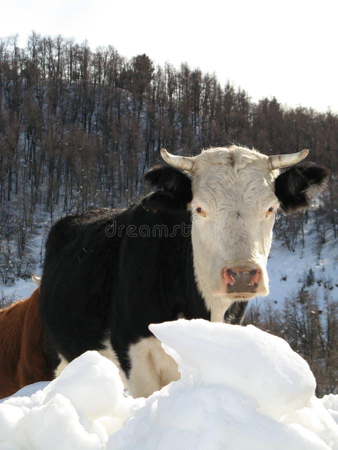Koe in sneeuw, Argentinië stock fotografie