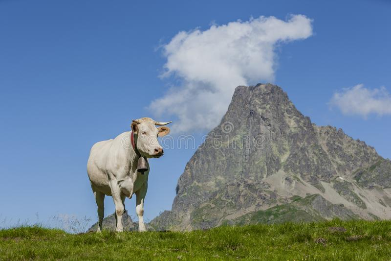 Koe voor Pic du Midi D 'Ossau in de Franse Pyreneeën stock fotografie