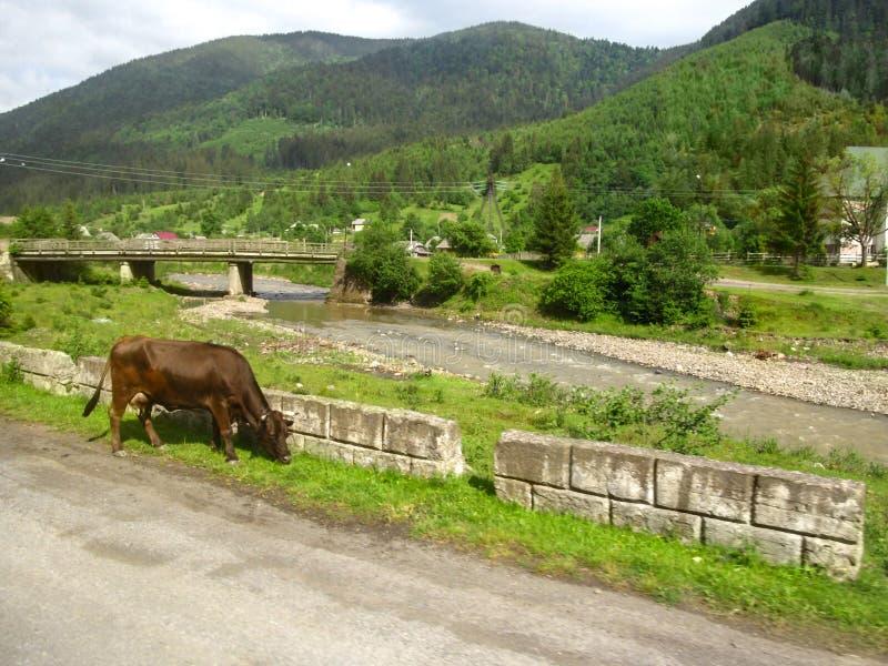 Koeclose-up op de achtergrond van een bergrivier met een brug en de Karpatische bergen met naaldbos de levensstijl royalty-vrije stock afbeelding
