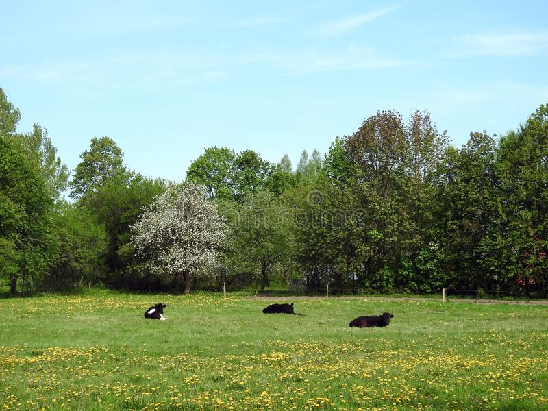 Koedieren op de lentegebied, Litouwen stock foto