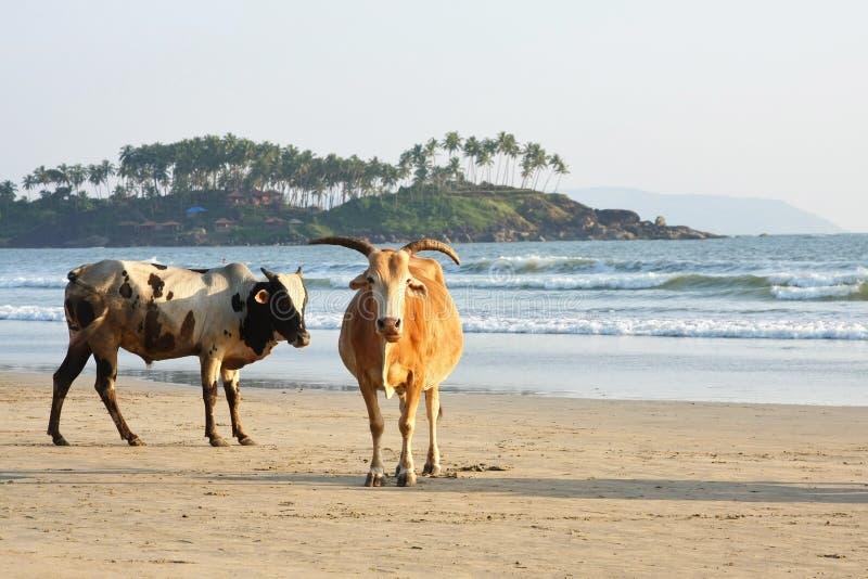 Koeien bij het strand royalty-vrije stock afbeelding