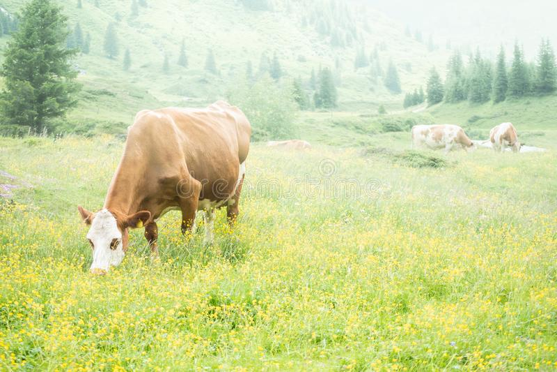 Koeien bij lunch, in mistige dag stock fotografie