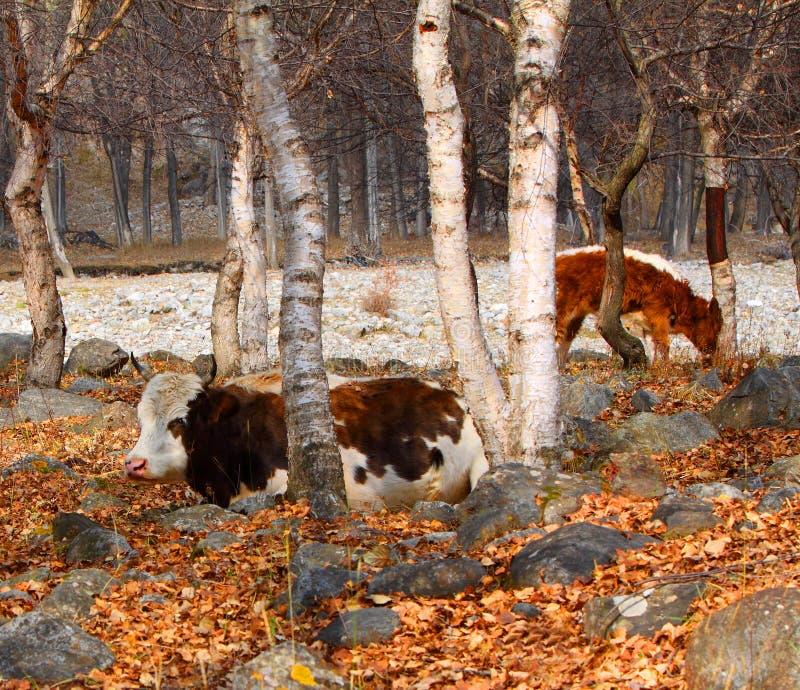 Koeien in de berk in de vrije tijd royalty-vrije stock afbeeldingen