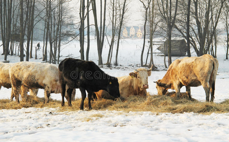Koeien in de winter royalty-vrije stock foto