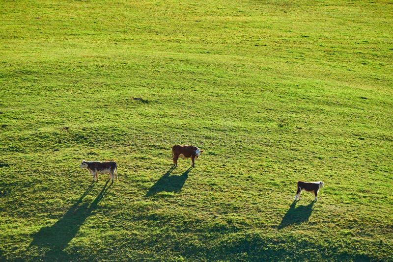 Koeien die bij een weiland in Vermont weiden stock afbeelding