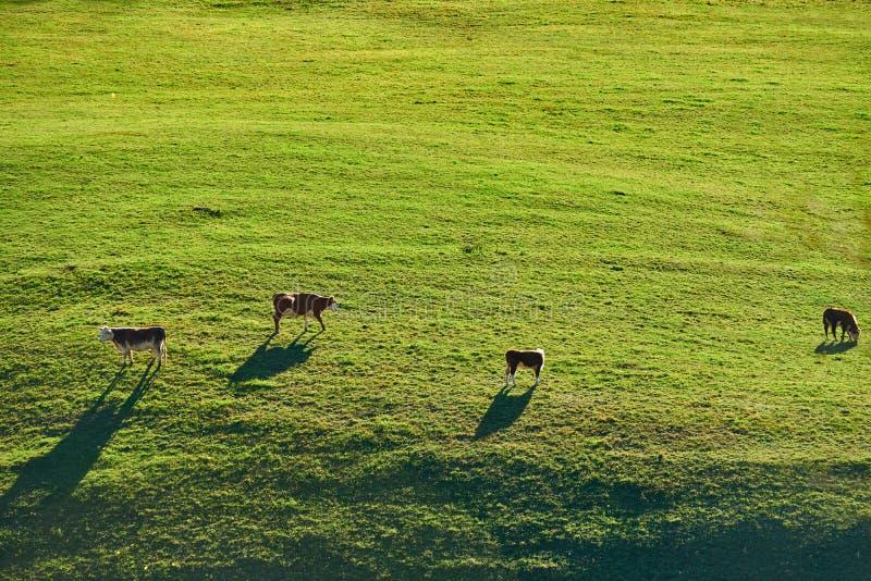 Koeien die bij een weiland in Vermont weiden royalty-vrije stock fotografie