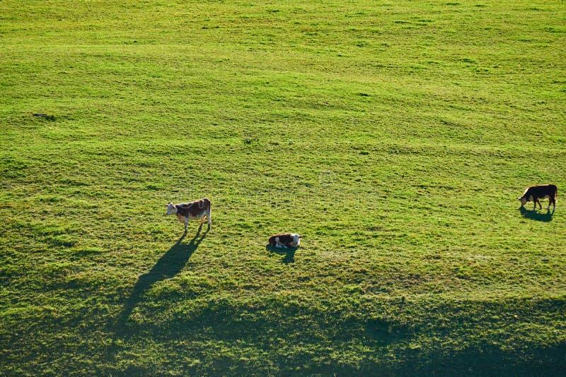Koeien die bij een weiland in Vermont weiden stock afbeeldingen