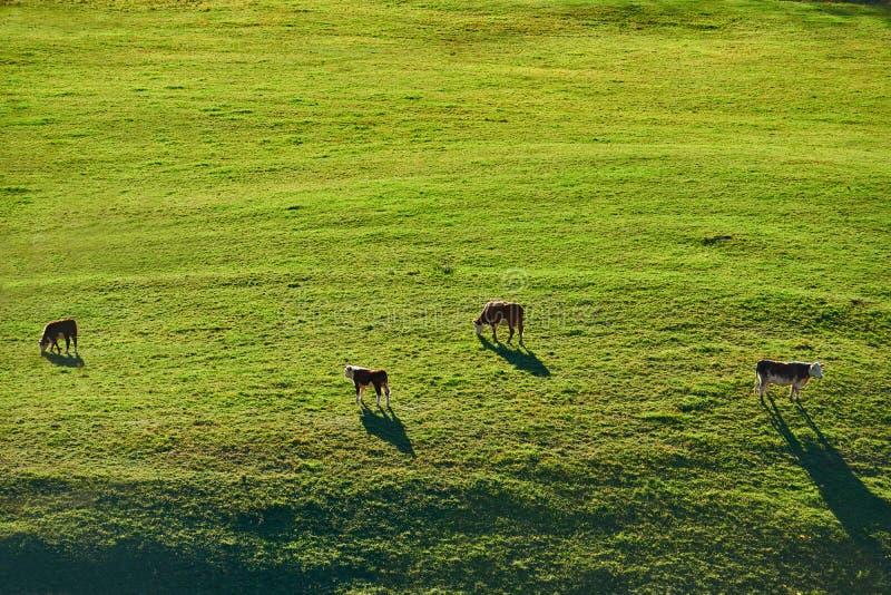 Koeien die bij een weiland in Vermont weiden stock fotografie