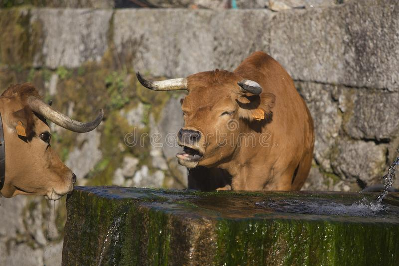 Koeien die in de aard, in Portugal lopen royalty-vrije stock fotografie